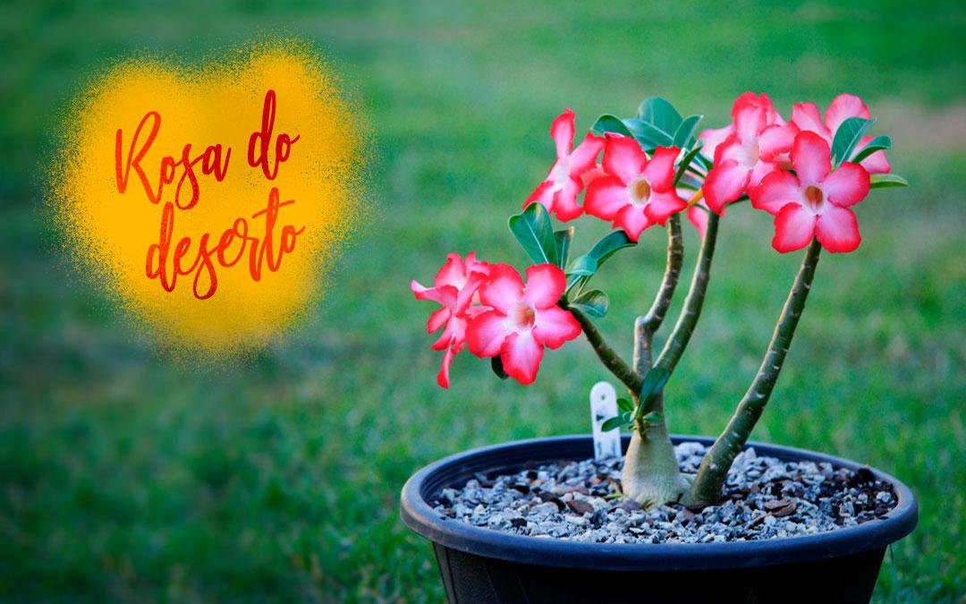 Como cultivar rosa-do-deserto